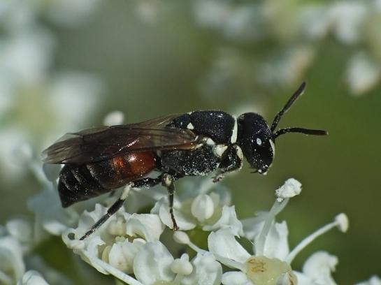 H. variegatus female