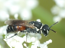 Hylaeus female