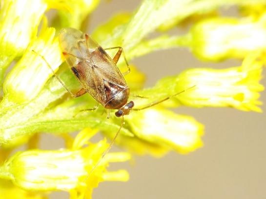 P.cervinus
