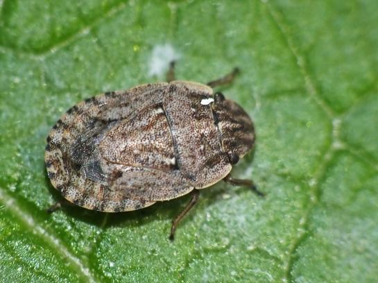 S.cursitans