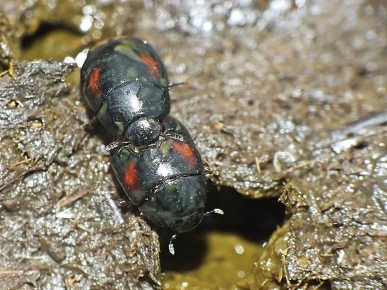 S.scarabaeoides