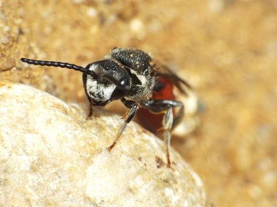 Sph. albilabris