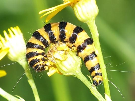 Tyria caterpillar