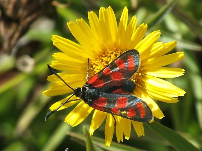 Zyg. carniolica