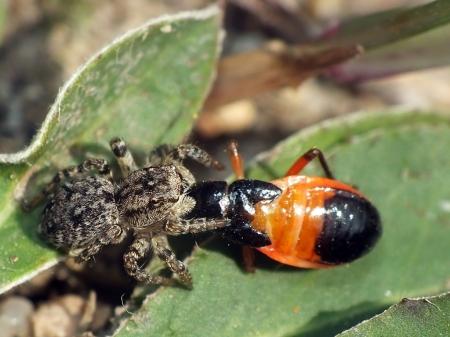 Salticidae - Skakunowate