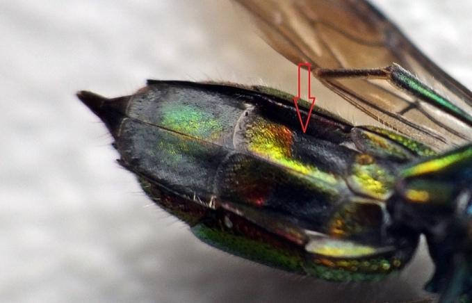 Czerwona strzałka wskazuje 2 sternit ( S2 ) - w przedniej części znajduje się prostokątna, czarna plama; tylna część sternitu jest złotoczerwona