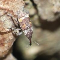 Pissodes castaneus - Smolik znaczony