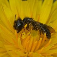 Andrenidae - Pszczolinkowate