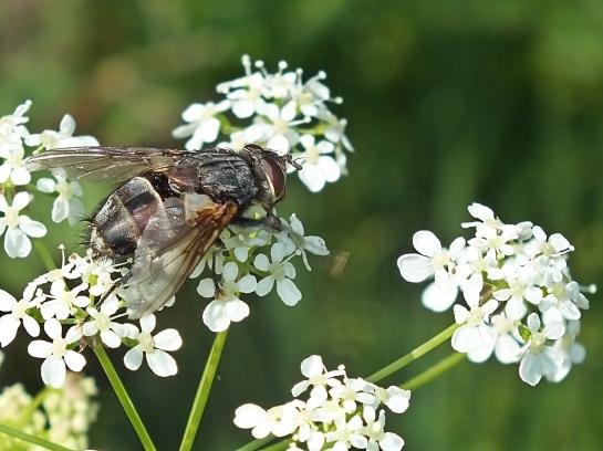 blepharipa-male