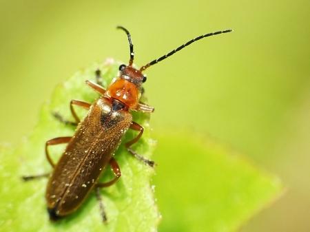Cantharidae - Omomiłkowate