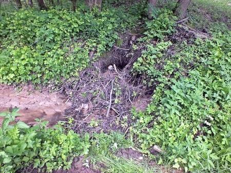 22.05.2016 Suwalski Park Krajobrazowy Leśny potok i żeremie stanowią doskonały habitat dla rozwoju larw; w takich miejscach najłatwiej zaobserwować imagines
