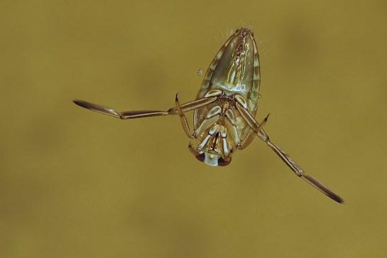 notonecta-species