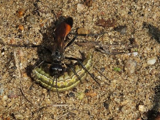 podalonia-species