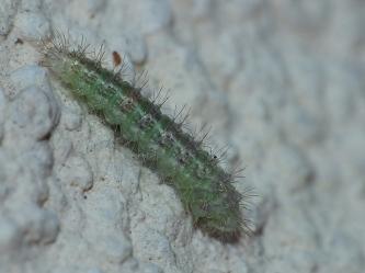 Gąsienica piórolotka