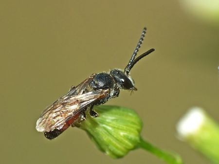 sphecodes-species