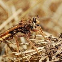 Asilus crabroniformis - Łowik szerszeniak