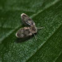 Psychodidae - Ćmiankowate