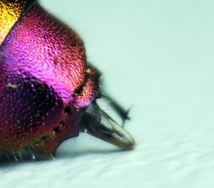 Ostatni 3 tergit i jego tytlna krawędź ( apical rim ) o 4 ząbkach są tego samego koloru
