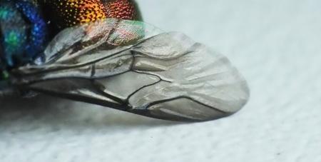Użyłkowanie przedniego skrzydła charakterystyczne dla rodzaju Chrysis