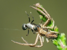 crab-spider-witj-jackal-fly