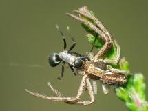 crab-spider-witj-jackal-fly