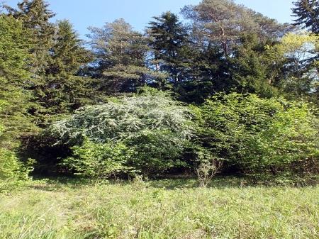 Głóg na skraju leśnej polany, do którego zlatywały Sphecomyia