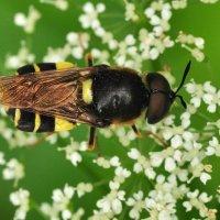 Stratiomyidae - Lwinkowate