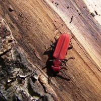 Cucujus cinnaberinus - Zgniotek cynobrowy