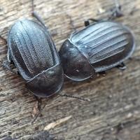 Phosphuga atrata - Zaciemka czarna