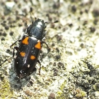 Glischrochilus quadripunctatus - Urazek czteroplamkowy