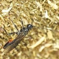 Braconidae - Męczelkowate