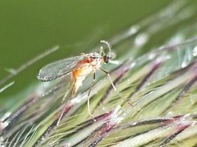Cecidomyiidae fly