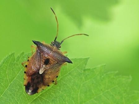 E.ferrugata