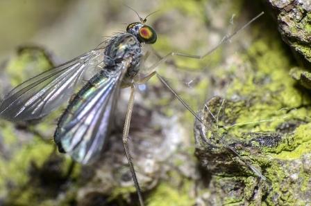 S. platypterus