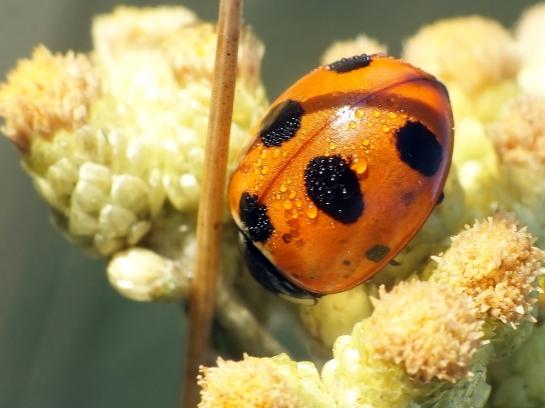 C. magnifica