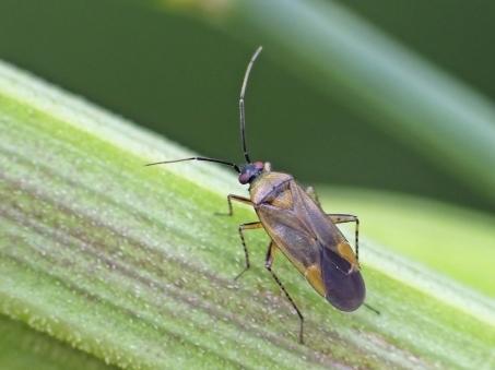 P.arbustorum