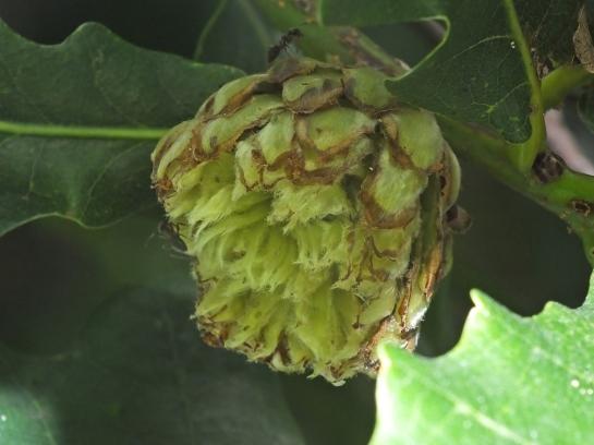 A.foecundatrix