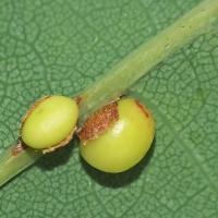 Cynipidae - Galasówkowate