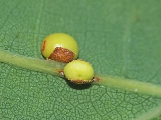 C.divisa