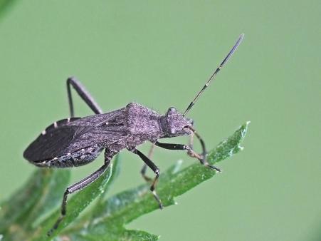 A.calcaratus