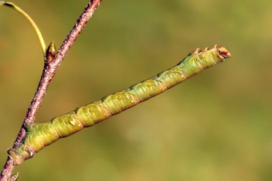 B.betularia