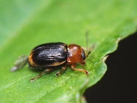 C.pusillus