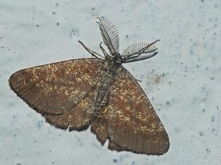 E.atomaria