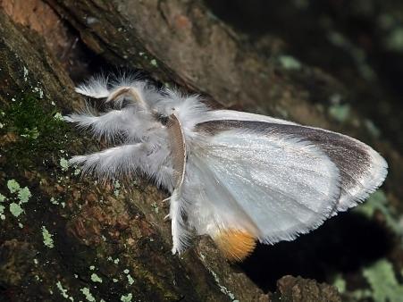 E.similis