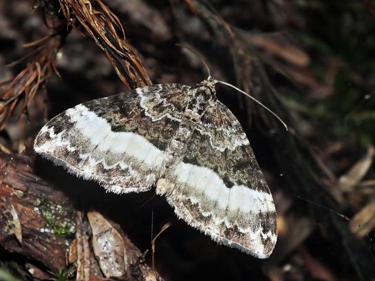 E.unangulata