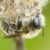 Megachilidae - Miesierkowate