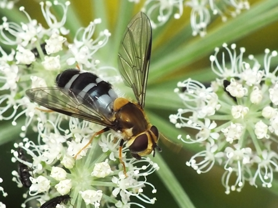 L.glaucia