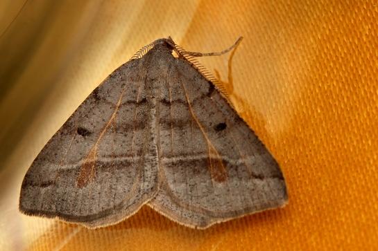 M.artesaria