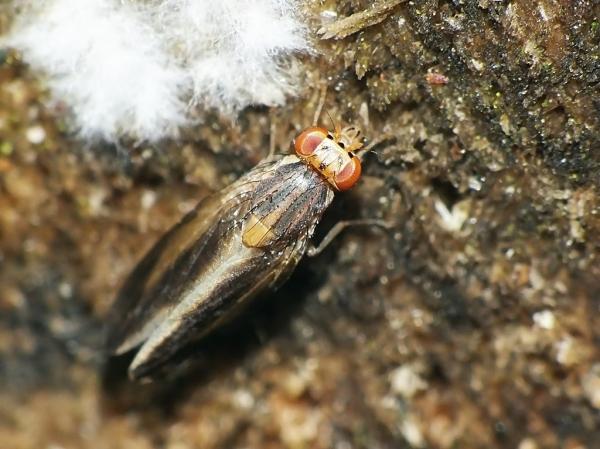 P.discoidea