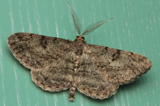 P.rhomboidaria